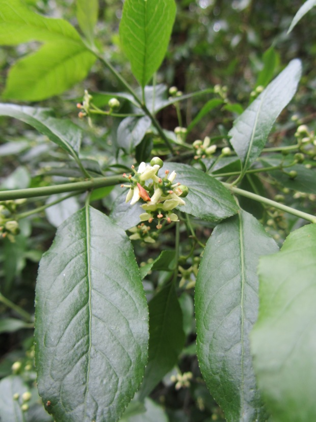 Spindle is a sign of ancient woods