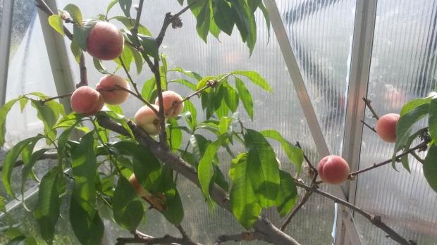 The ripe peaches