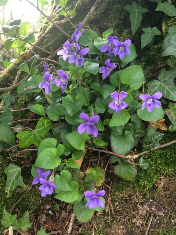Wild Violas In Kildare